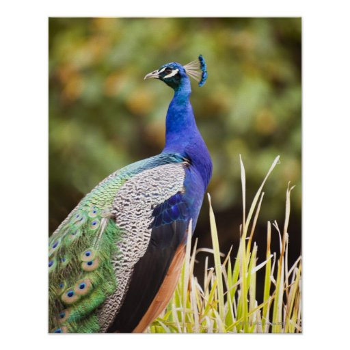 Close-up of a peacock poster