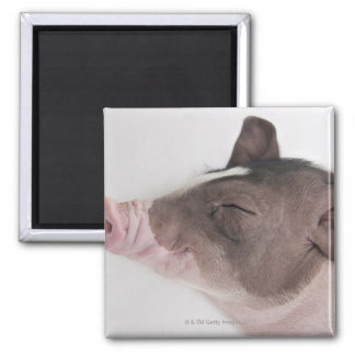 Close-up of a piglet's head, smiling magnet
