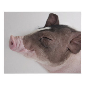 Close-up of a piglet's head, smiling poster