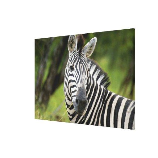 Close-up of a Plains zebra (Equus burchellii) in Canvas Prints