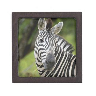 Close-up of a Plains zebra (Equus burchellii) in Jewelry Box