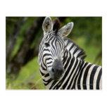 Close-up of a Plains zebra (Equus burchellii) in Postcards