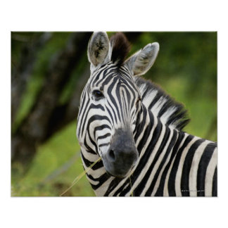 Close-up of a Plains zebra (Equus burchellii) in Poster