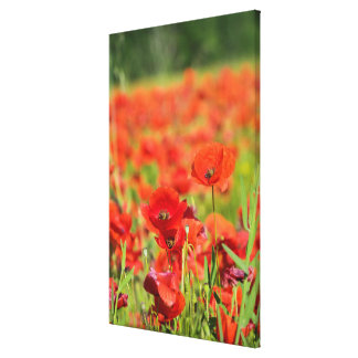 Close-up of a Poppy field, France Canvas Print