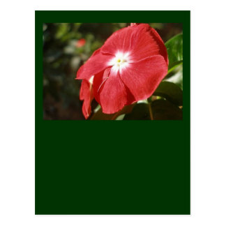 Close Up Of A Red Busy Lizzie Flower Postcard