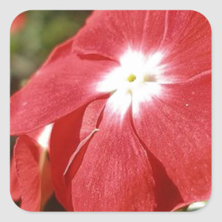Close Up Of A Red Busy Lizzie Flower Square Sticker