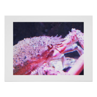 Close up of a Spider crab Poster