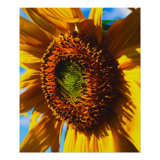 Close-up of a sunflower poster