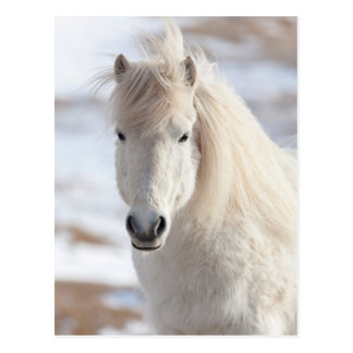 Close up of a White Icelandic Horse Postcard