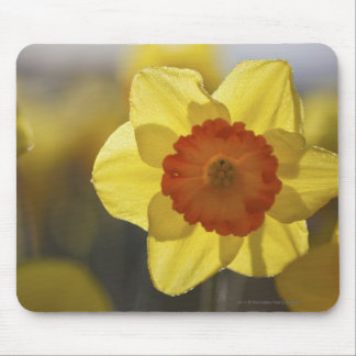 Close Up of a Yellow/Orange Daffodil Mouse Pad