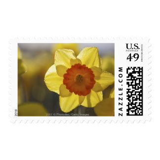 Close Up of a Yellow/Orange Daffodil Stamp