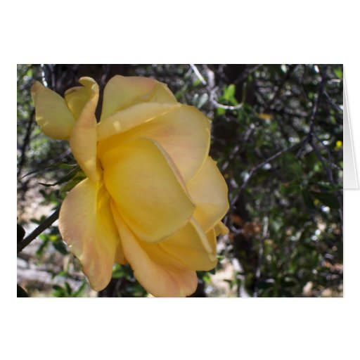 Close up of a yellow rose greeting cards