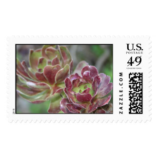 Close Up Of Aeonium Succulent With Garden Backgrou Postage