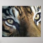Close up of an adult male Sumatran Tiger Poster