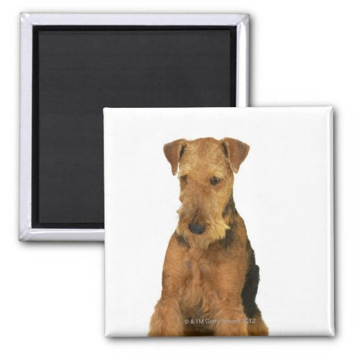 Close up of an airedale terrier 2 inch square magnet