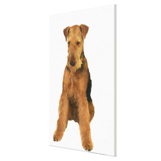 Close up of an airedale terrier canvas print