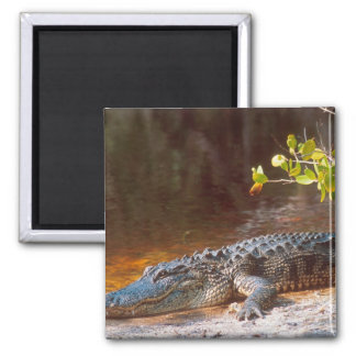 Close up of an american alligator at the J.N. 2 Inch Square Magnet