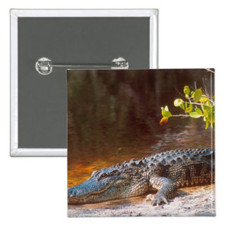 Close up of an american alligator at the J.N. Buttons