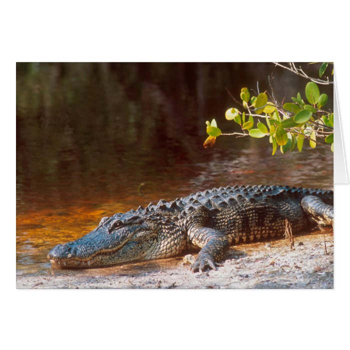 Close up of an american alligator at the J.N. Card