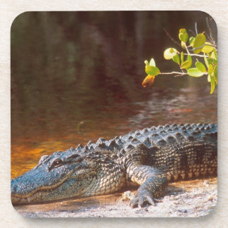 Close up of an american alligator at the J.N. Drink Coaster