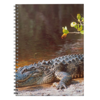 Close up of an american alligator at the J N Spiral Note Book