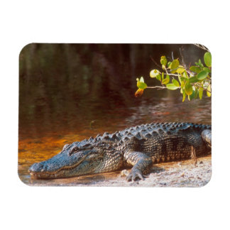 Close up of an american alligator at the J.N. Rectangular Photo Magnet