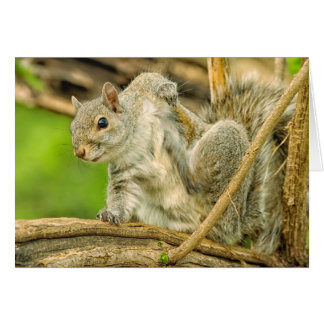 Close-up of an Eastern Gray Squirrel scratching Card