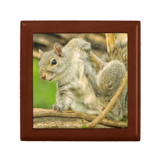 Close-up of an Eastern Gray Squirrel scratching Gift Box