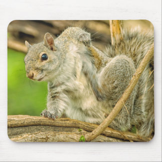 Close-up of an Eastern Gray Squirrel scratching Mouse Pad