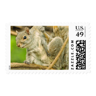 Close-up of an Eastern Gray Squirrel scratching Postage