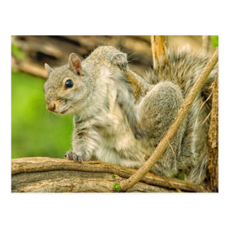 Close-up of an Eastern Gray Squirrel scratching Postcard