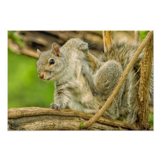 Close-up of an Eastern Gray Squirrel scratching Poster