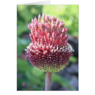 Close Up of An Ornamental Onion  Drumstick Allium Greeting Card