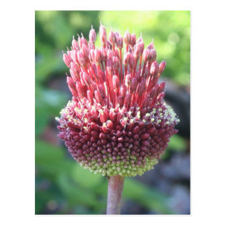 Close Up of An Ornamental Onion  Drumstick Allium Postcard