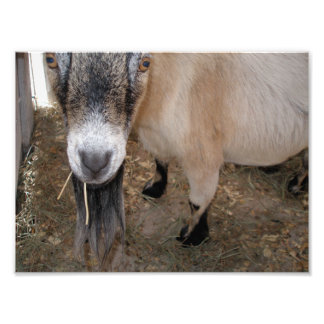 Close Up of Billy Goat Eating Hay Photo Print