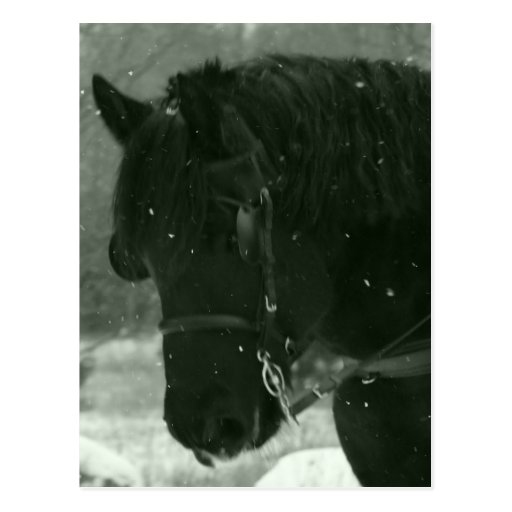 Close Up Of Black Horse Postcard