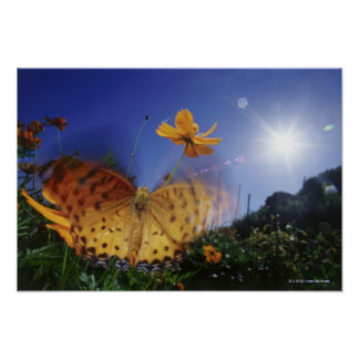 Close-up of Butterfly, flapping wings Poster