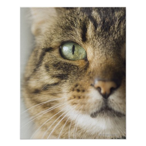 Close-up of cat (focus on eye) poster