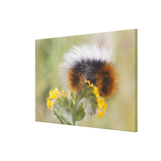 Close-up of caterpillar on flower. Credit as: Canvas Print