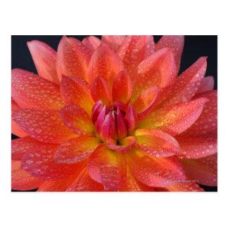 Close up of center of orange dahlia, Dahlia Postcard