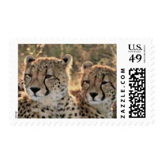 Close-up of Cheetahs Postage Stamp