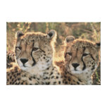 Close-up of Cheetahs Stretched Canvas Prints