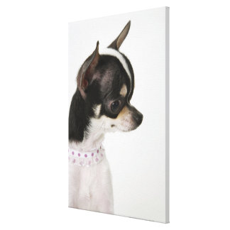 Close-up of Chihuahua, side view Canvas Print