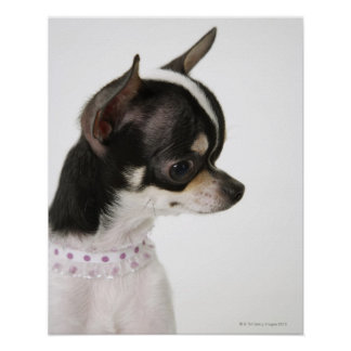 Close-up of Chihuahua, side view Poster