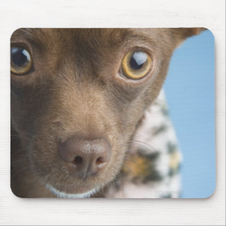 Close-up of chihuahua with furry collar mouse pad