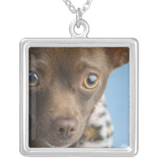 Close-up of chihuahua with furry collar silver plated necklace