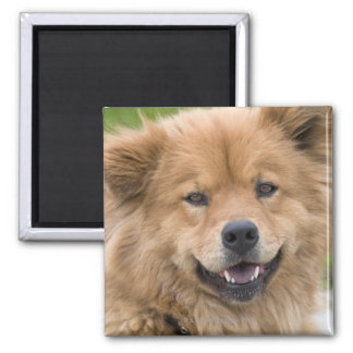 Close up of chow mix dog outdoors. 2 inch square magnet