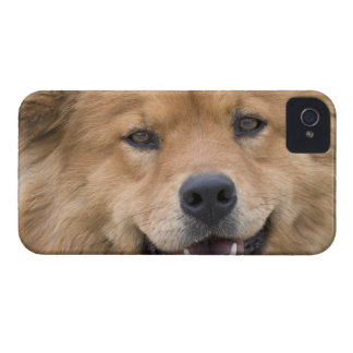 Close up of chow mix dog outdoors. iPhone 4 cover