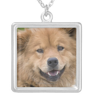 Close up of chow mix dog outdoors. silver plated necklace