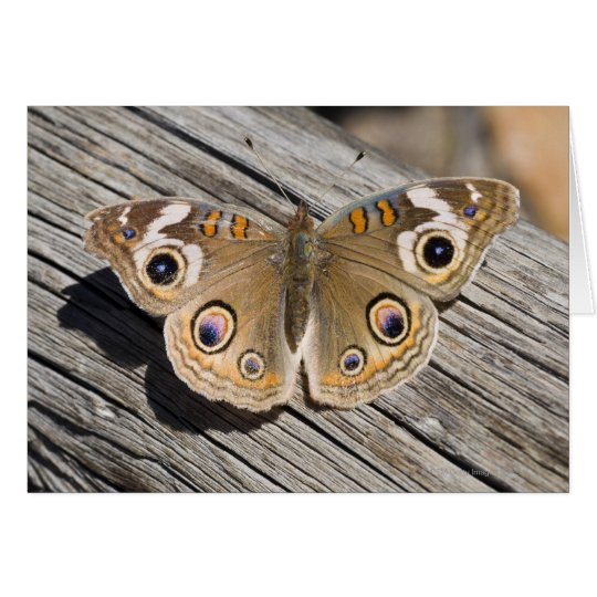 Close up of common buckeye butterfly (Junonia Card